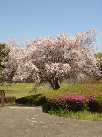 2009.04.11 枝垂桜 鴨池公園