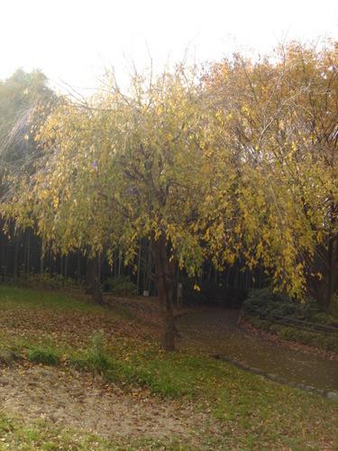 2009.11.27 枝垂桜の紅葉.JPG