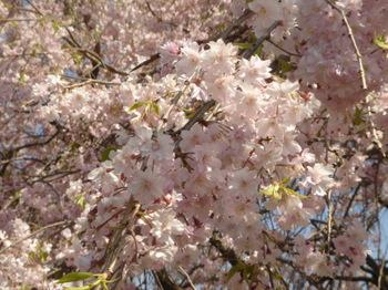 2009.04.11 枝垂桜 鴨池公園2