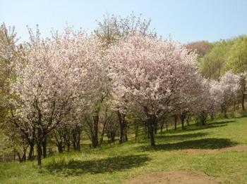 2009.04.11 山桜