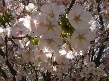 2009.04.11 山桜2