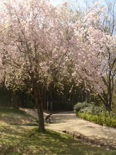 2009.04.11 枝垂桜