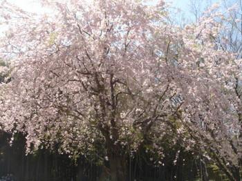 2009.04.11 枝垂桜2